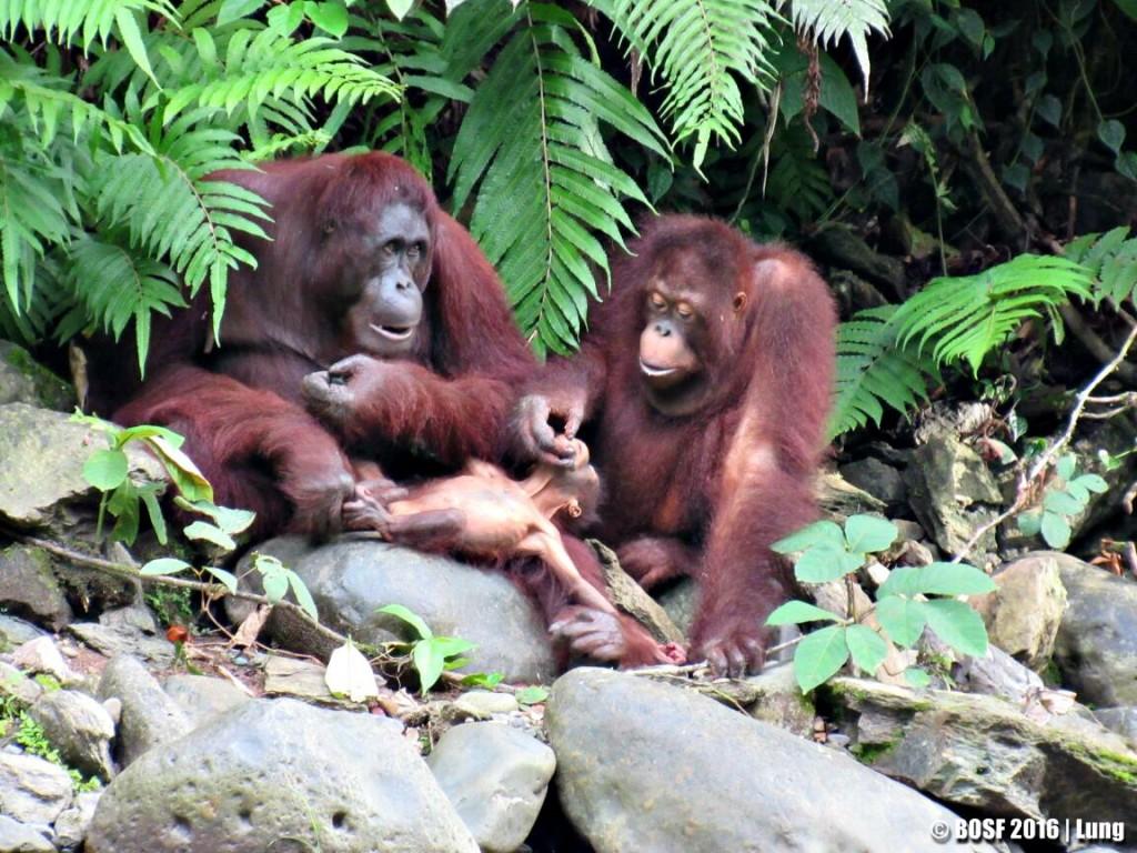 """""""Bersekolah"""" Untuk Kembali Liar, Save Orangutan Untuk MasaDepan"""